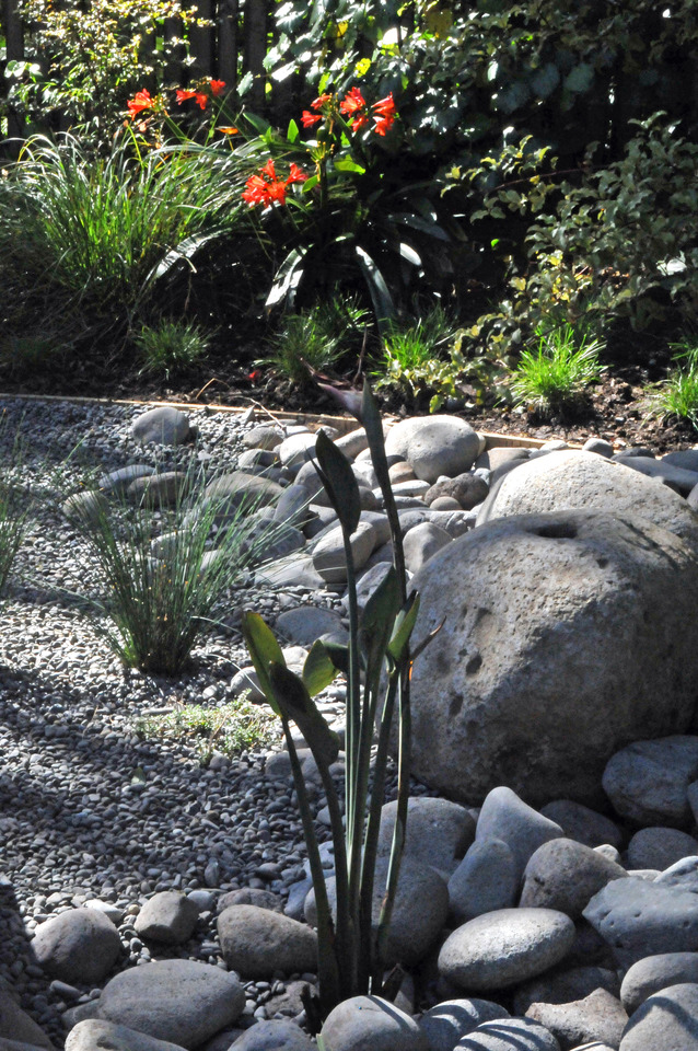 Various sized river boulders and pebble form a dry riverbed theme for the rain garden and a good home for the rushes and bird of paradise plant