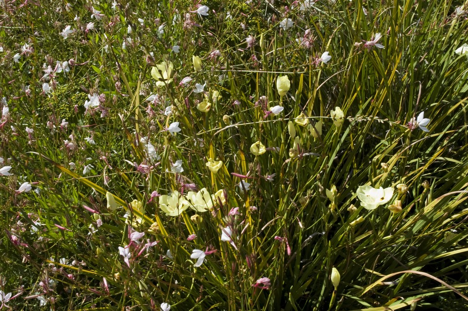detail of meadow planting with Dietes and Gaura