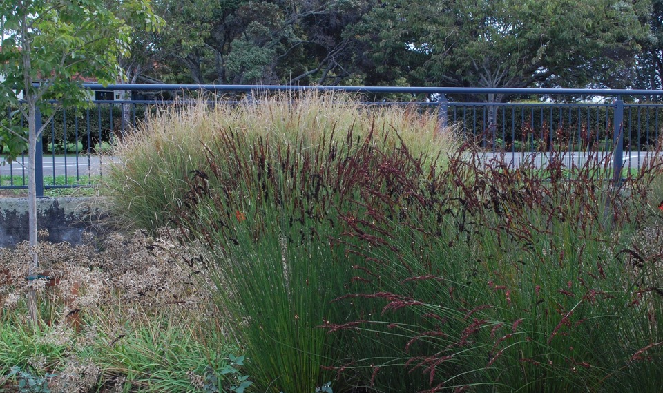 late summer seedheads include Chondropetalum and Miscanthus