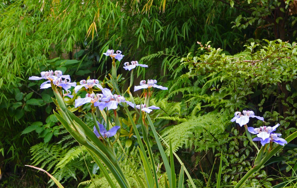 The flowers of walking iris are short-lived but exquisite