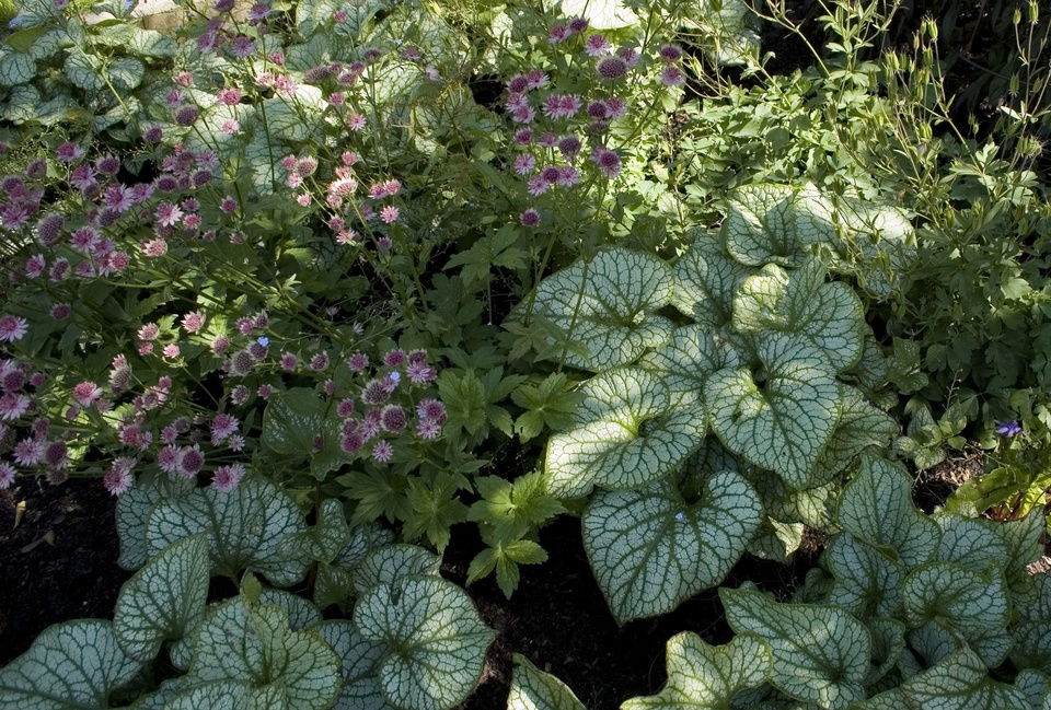 Detail of woodland edge planting - combining Brunnera 'Jack Frost ' with Astrantia